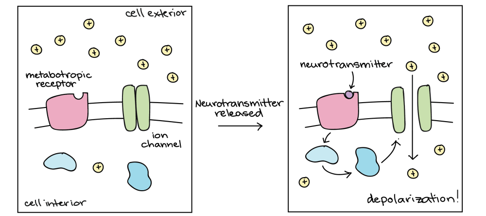 medium resolution of diagram of one way that a metabotropic receptor can act the ligand binds to the