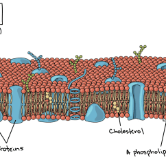 Human Cell Wall Diagram Labeled Rotary Phone Parts Plasma Membrane And Cytoplasm Article Khan Academy