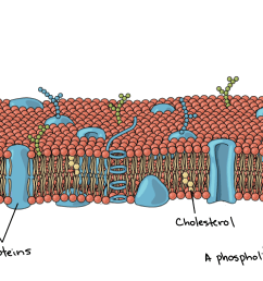 an image of plasma membrane shows the phospholipid bilayer embedded proteins and cholesterol molecules [ 3771 x 2081 Pixel ]