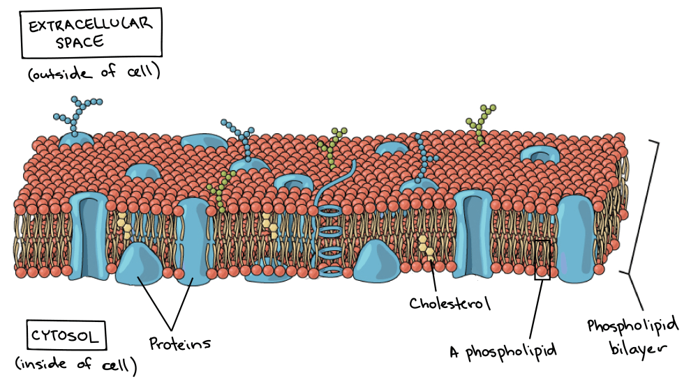 medium resolution of an image of plasma membrane shows the phospholipid bilayer embedded proteins and cholesterol molecules