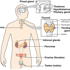 Endocrine System Diagram Light Switch Timer Wiring The Nervous And Systems Review Article Khan Academy Of Major Glands Includes Both Male Female