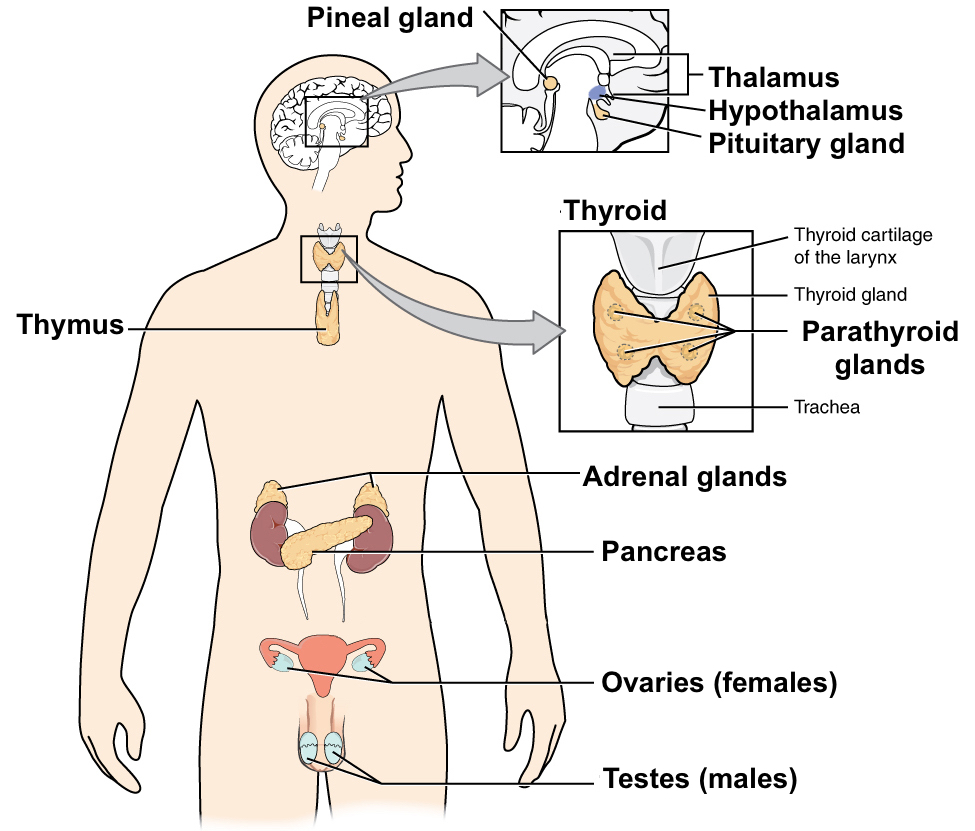 hight resolution of diagram of the major endocrine glands includes both male and female glands