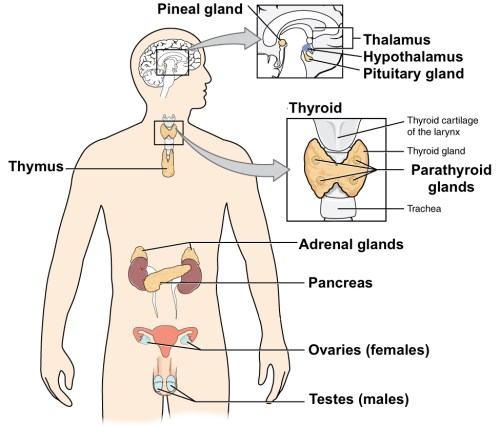 small resolution of diagram of the major endocrine glands includes both male and female glands