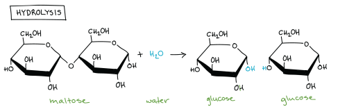 small resolution of hydrolysis of maltose in which a molecule of maltose combines with a molecule of water