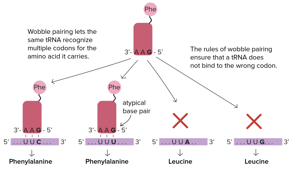medium resolution of wobble pairing lets the same trna recognize multiple codons for the amino acid it carries