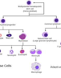 The adaptive immune response is mediated by cells known as lymphocytes these are  and  secrete antibodies highly specific protein also innate vs immunity practice khan academy rh khanacademy