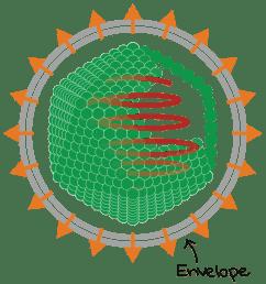 diagram of enveloped icosahedral virus  [ 2356 x 1862 Pixel ]