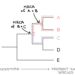 Morphology Tree Diagram Worcester Greenstar System Boiler Wiring Phylogenetic Trees Evolutionary Article Khan Academy Image Modified From Taxonomy And Phylogeny Figure 2 By Robert Bear Et Al Cc 4 0