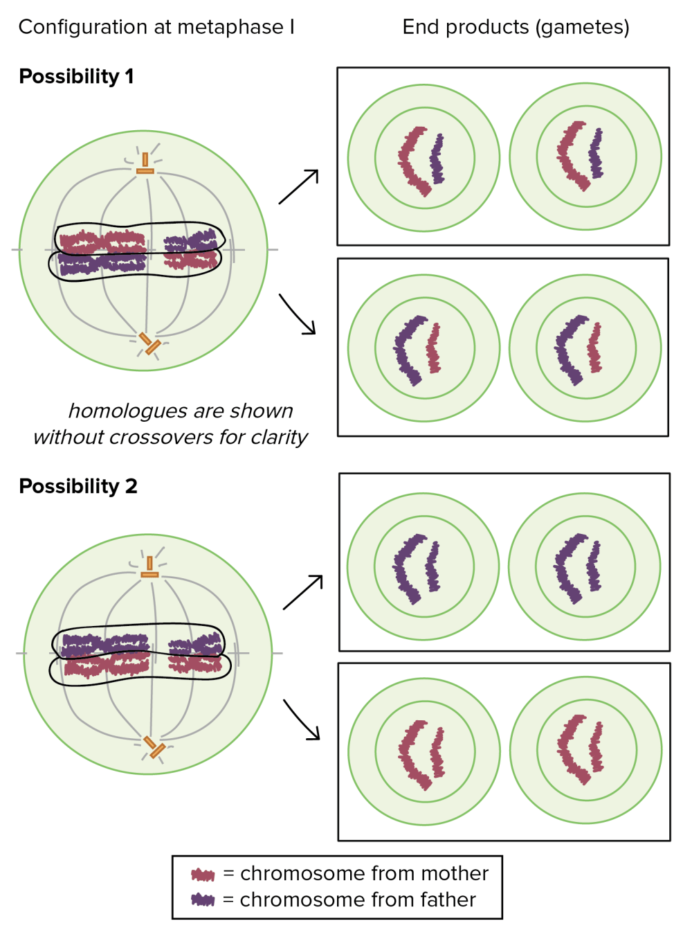 medium resolution of diagram showing the relationship between chromosome configuration at meiosis i and homologue segregation to gametes