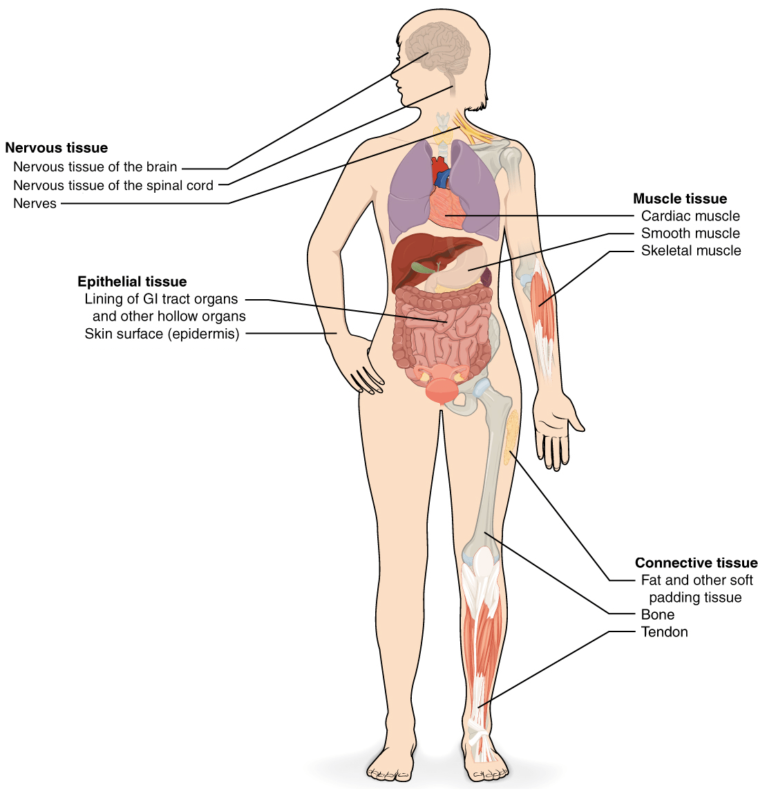 hight resolution of tissues organs organ systems article khan academy well human cell structure diagram besides full body diagram of muscles