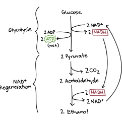 Stages Of Glycolysis And Fermentation Diagram 2006 Kia Sedona Wiring Anaerobic Respiration Cellular Article Khan Academy