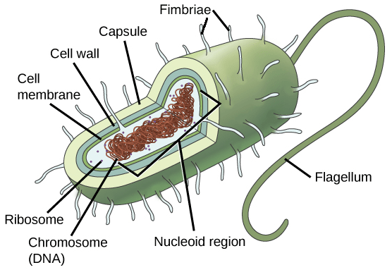 microbiology prokaryotic cell diagram labeled peugeot 407 wiring cells article khan academy image of a typical with different portions the