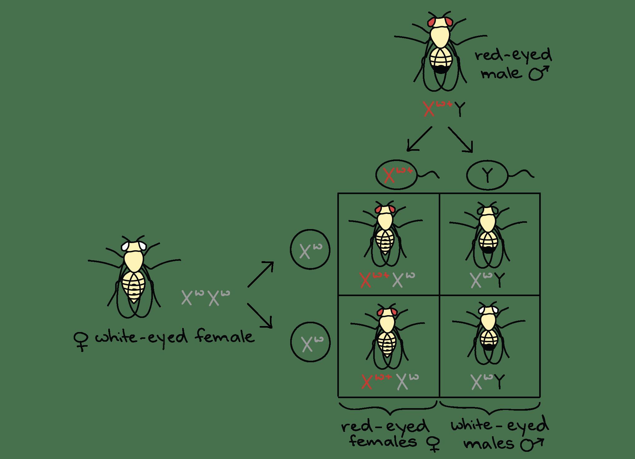 Chemical Basis Of Genetics Worksheet