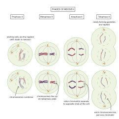 Stages Of Meiosis Diagram Labeled Hitachi Lr180 03c Alternator Wiring Cell Division Biology Article Khan Academy Phases Ii Prophase Starting Cells Are The Haploid Made In