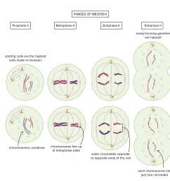 phases of meiosis ii prophase ii starting cells are the haploid cells made in meiosis [ 2754 x 2725 Pixel ]