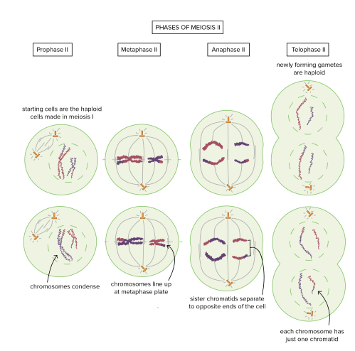 small resolution of phases of meiosis ii prophase ii starting cells are the haploid cells made in meiosis