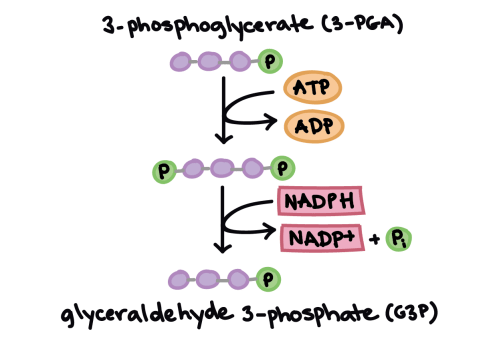 small resolution of simplified diagram of the reduction stage of the calvin cycle showing carbon atoms but not
