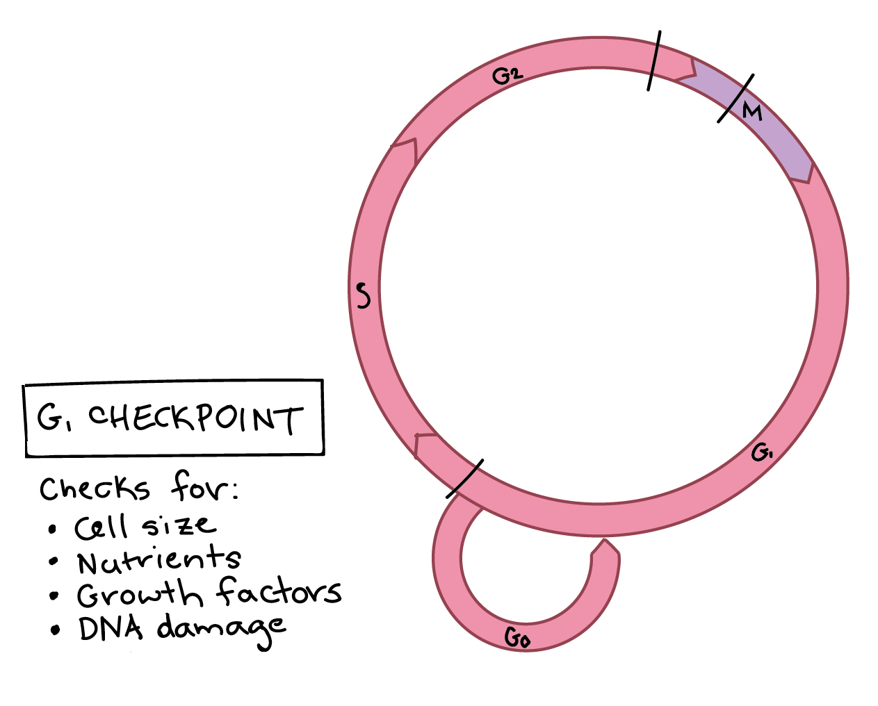 hight resolution of the g1 checkpoint the g1 checkpoint is located at the end of g1 phase