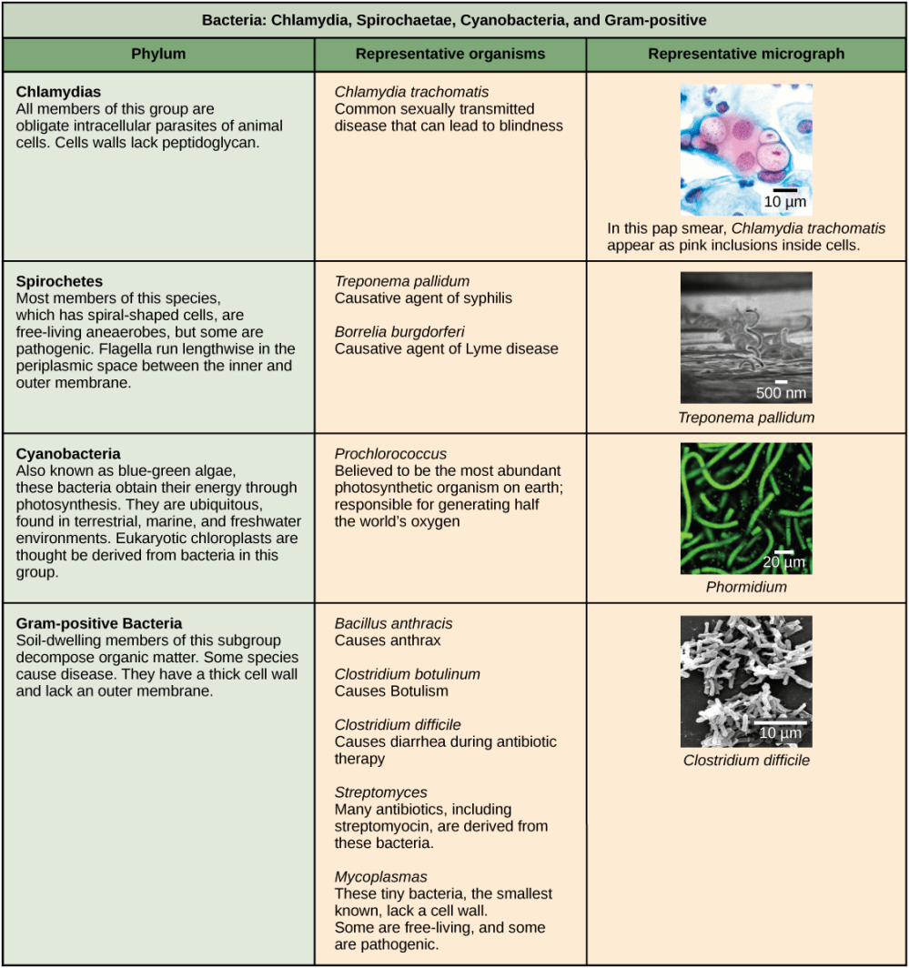 medium resolution of chlamydia spirochetes cyanobacteria and gram positive bacteria are described in this table