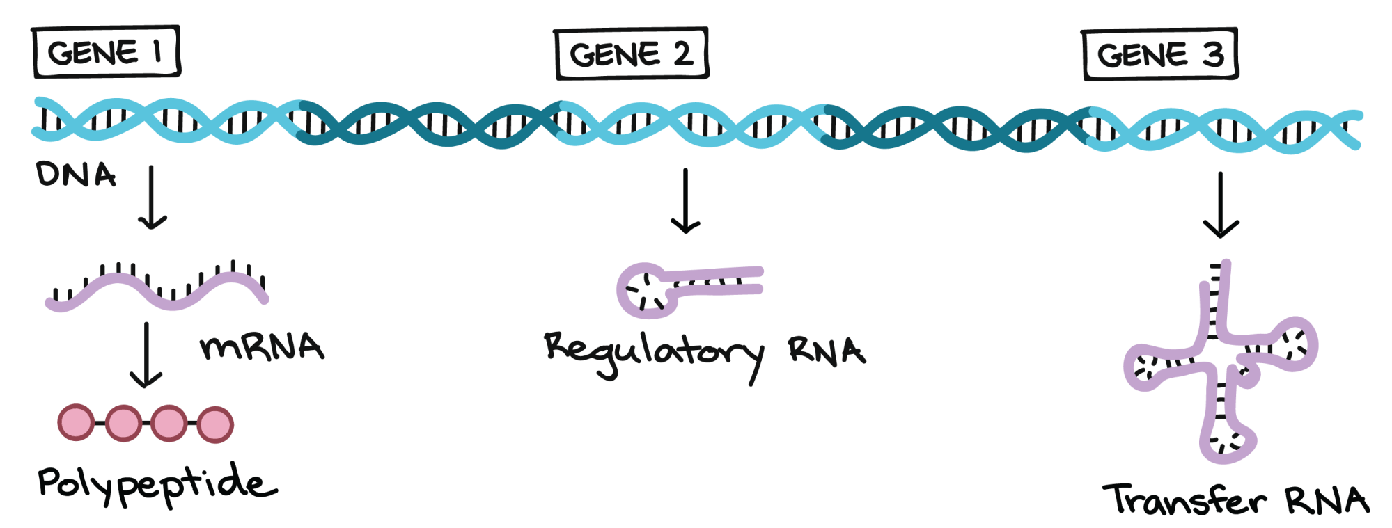 hight resolution of examples of different functional products that genes can specify in this example there is