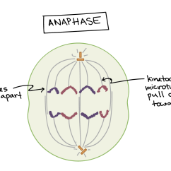 Stages Of Mitosis Diagram Labeled Dvc Subwoofer Wiring Phases Biology Article Khan Academy Anaphase The Sister Chromatids Separate From One Another And Are Pulled Towards Opposite Poles