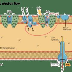 Light Reactions Photosystem Diagram Wiring For Caravan Socket Dependent Photosynthesis Reaction Article Khan Academy