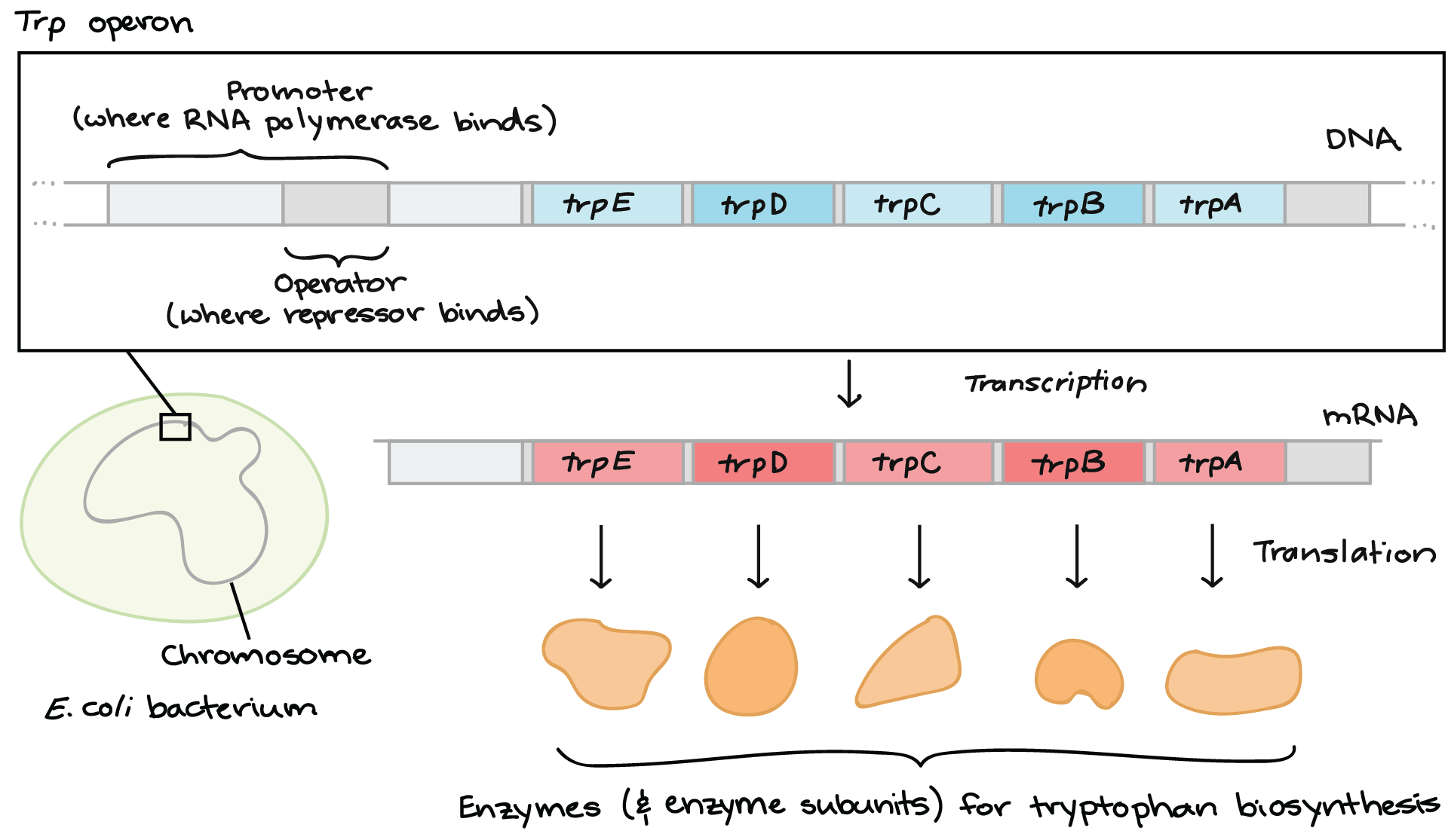 hight resolution of diagram of the trp operon first we see an e coli bacterium with