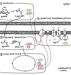 steps of cellular respiration [ 2787 x 2687 Pixel ]
