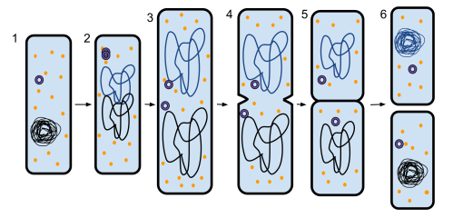small resolution of prokaryotic cell undergoing the process of binary fission