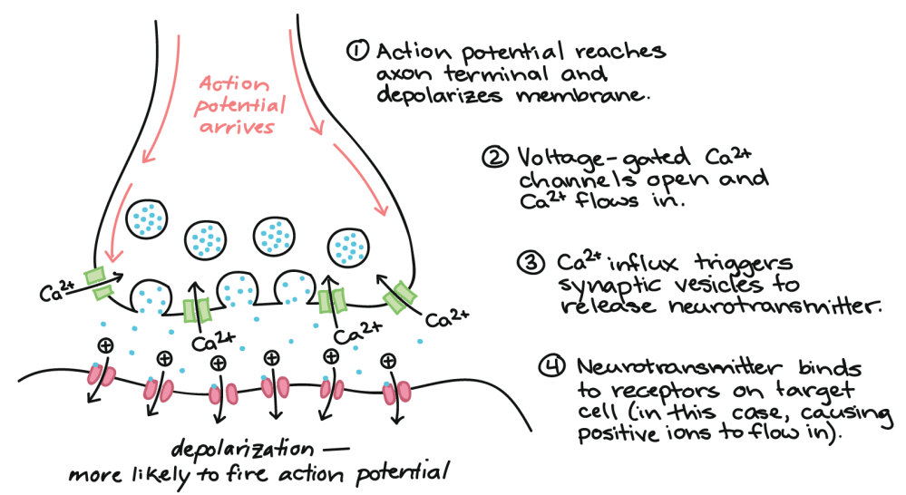 medium resolution of image showing what happens when action potential arrives at axon terminal causing ion flow and