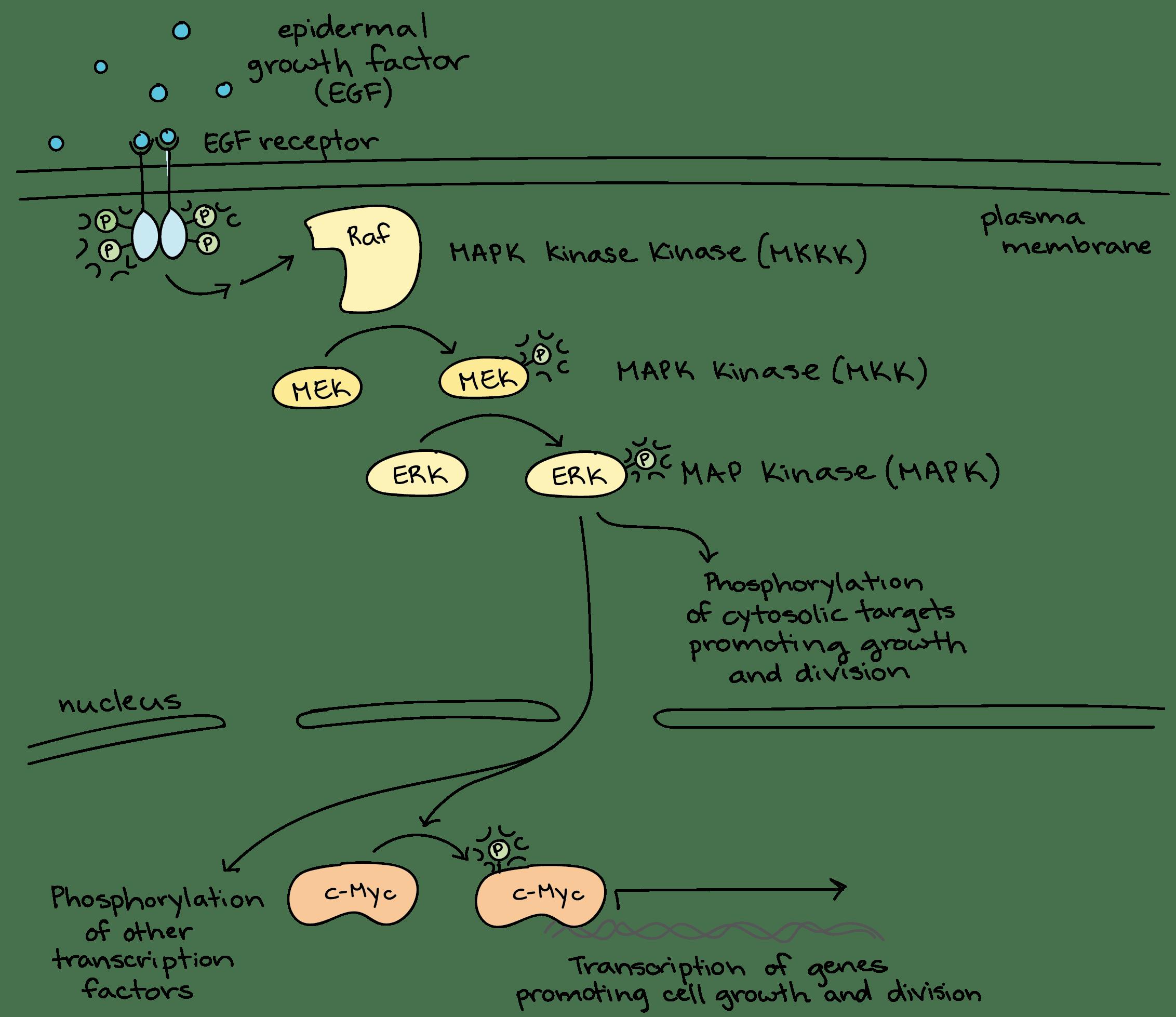 Wiring Diagram Database Cellular Communication Is