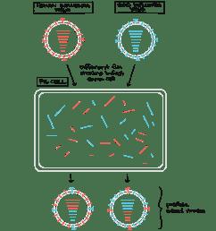 human influenza virus and bird influenza virus infect same pig cell each has eight segments [ 1913 x 2050 Pixel ]