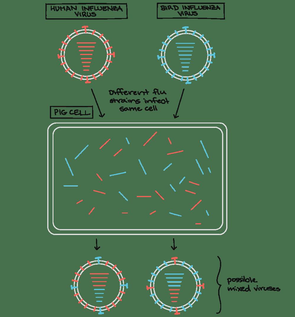 medium resolution of human influenza virus and bird influenza virus infect same pig cell each has eight segments