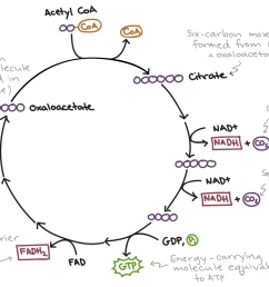 simplified diagram of the citric acid cycle first acetyl coa combines with oxaloacetate  [ 2407 x 1667 Pixel ]