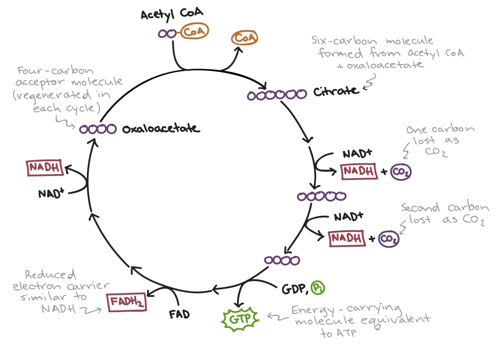 medium resolution of simplified diagram of the citric acid cycle first acetyl coa combines with oxaloacetate