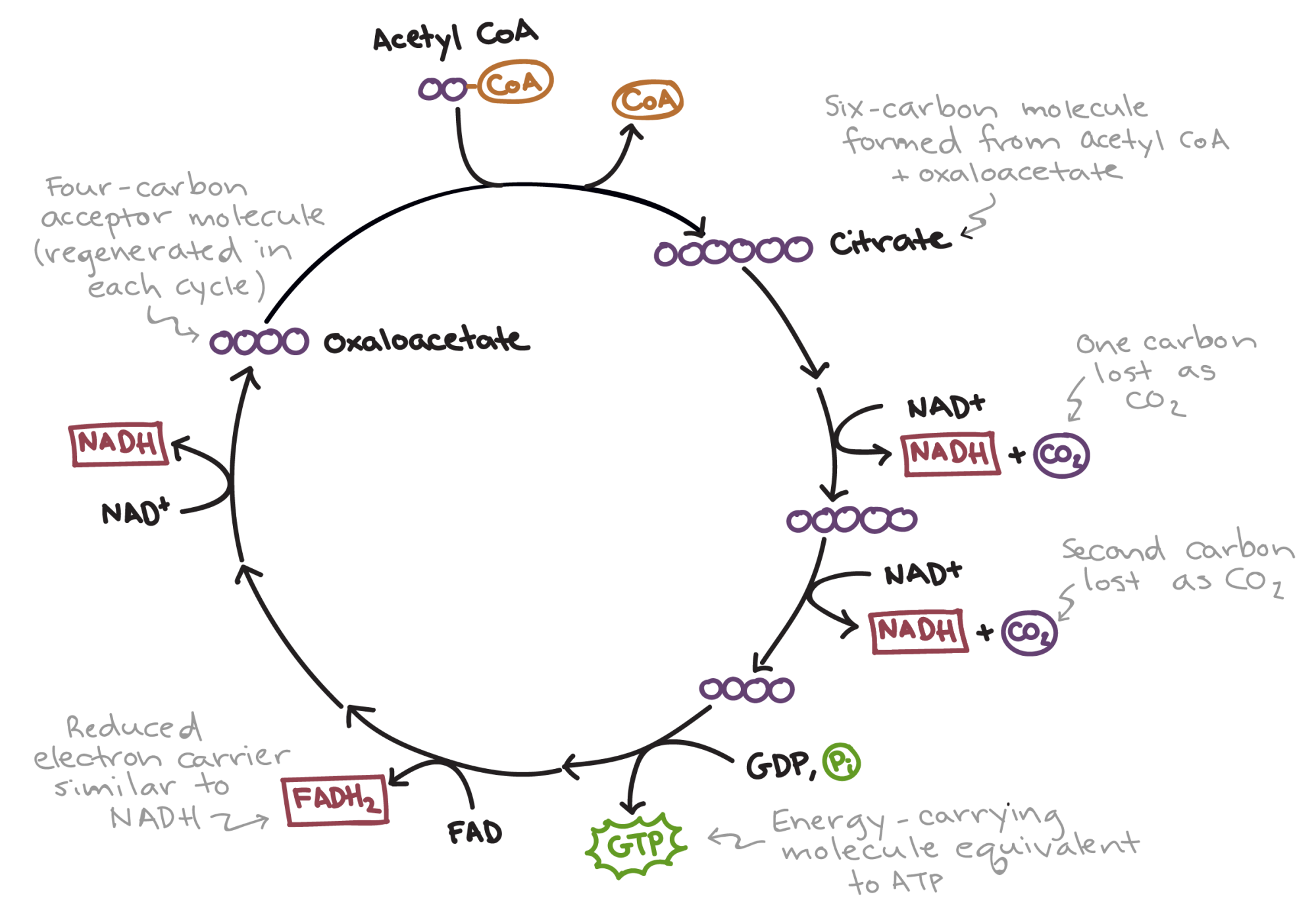 hight resolution of simplified diagram of the citric acid cycle first acetyl coa combines with oxaloacetate