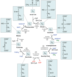 detailed diagram of the citric acid cycle showing the structures of the various cycle intermediates [ 3333 x 3683 Pixel ]