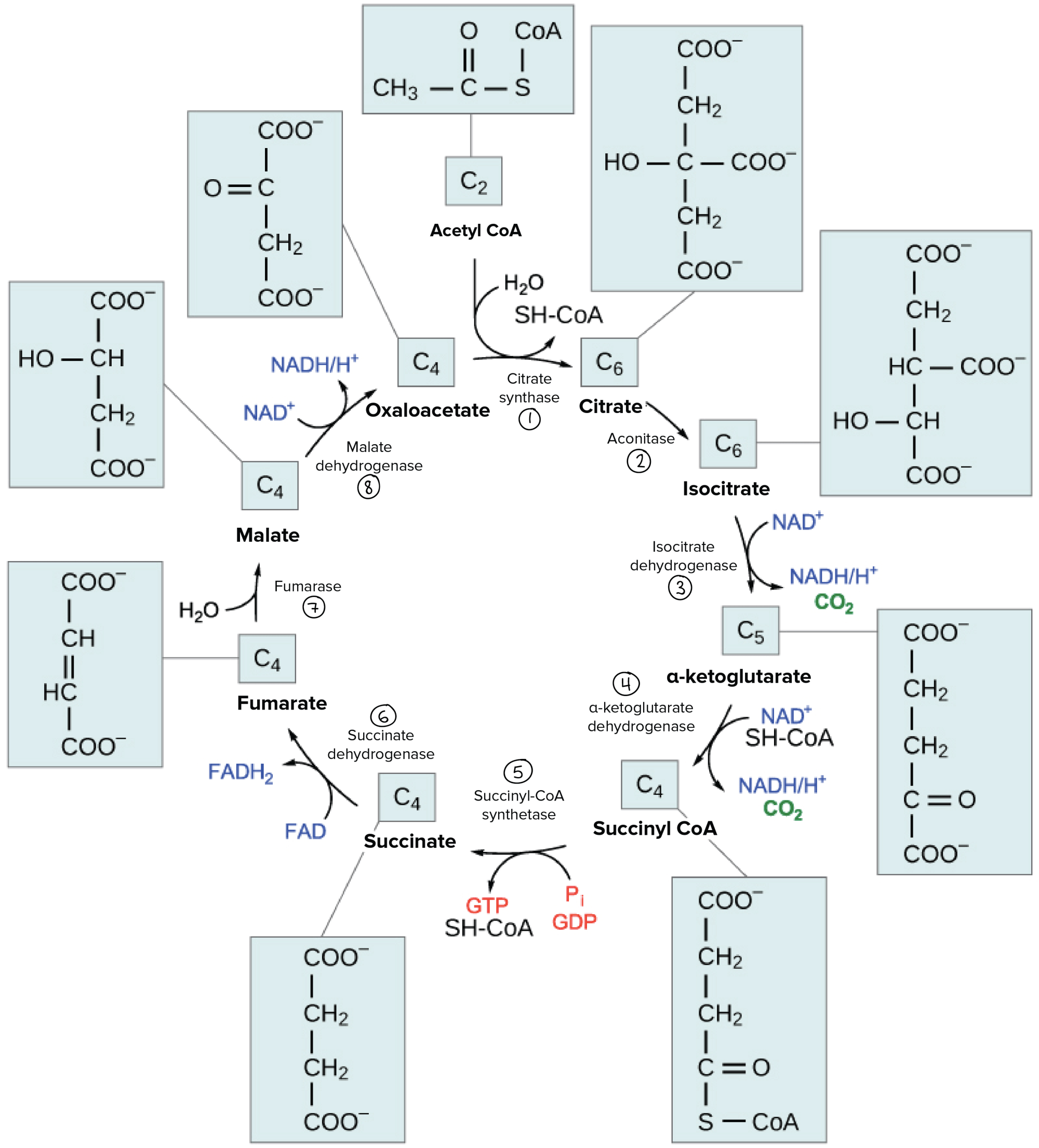 hight resolution of detailed diagram of the citric acid cycle showing the structures of the various cycle intermediates