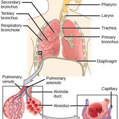 The Lung Anatomy Diagram Label Suzuki Rv 50 Wiring Respiratory System Review Article Khan Academy Labeling Major Structures Of