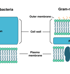 gram positive bacteria have an inner plasma membrane and a thick cell wall composed of [ 3678 x 1859 Pixel ]