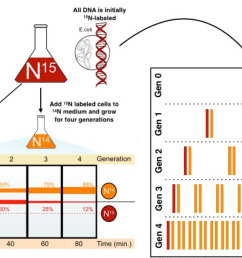 diagram of the meselson stahl experiment all dna is initially nitrogen 15  [ 1906 x 1097 Pixel ]
