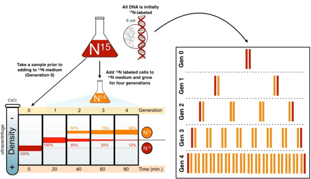 medium resolution of diagram of the meselson stahl experiment all dna is initially nitrogen 15