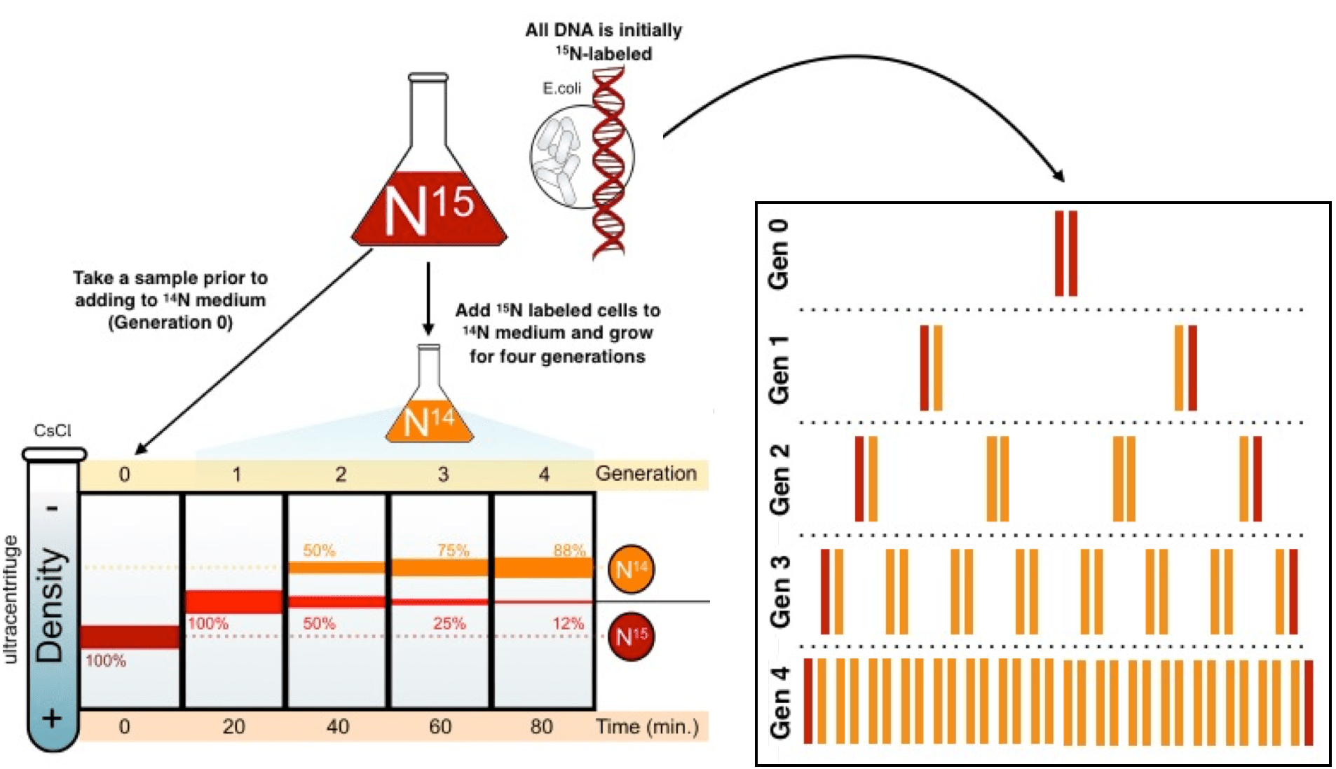 hight resolution of diagram of the meselson stahl experiment all dna is initially nitrogen 15