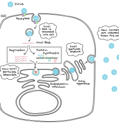 diagram based on the flavivirus life cycle by ted pierson 1 5 15 15start superscript 15 end superscript  [ 2025 x 1956 Pixel ]