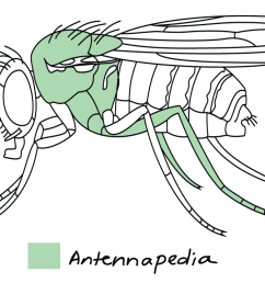 image credit modified from hox genes of fruit fly by philip public domain [ 1500 x 717 Pixel ]