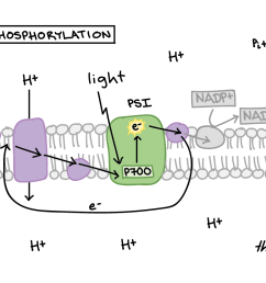 in cyclic photophosphorylation an excited electron leaves photosystem i and travels a short distance down [ 1888 x 832 Pixel ]