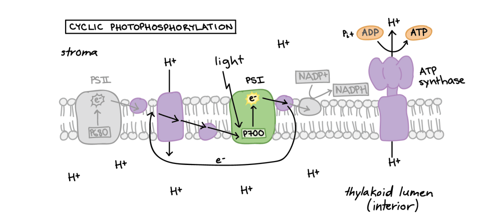 medium resolution of in cyclic photophosphorylation an excited electron leaves photosystem i and travels a short distance down