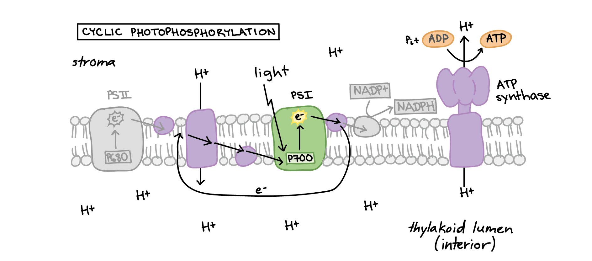 hight resolution of in cyclic photophosphorylation an excited electron leaves photosystem i and travels a short distance down