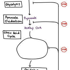 Stages Of Glycolysis And Fermentation Diagram Cisco Unified Communications Architecture Regulation Cellular Respiration Article Khan Academy Showing Feedback Inhibition Pyruvate Oxidation The Tca Cycle By