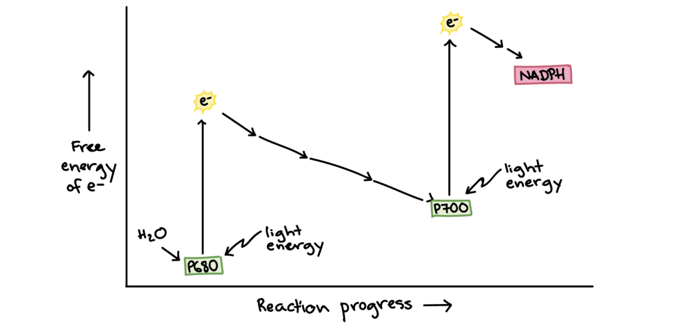 medium resolution of energy diagram of photosynthesis on the y axis is the free energy of electrons